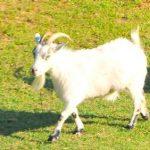 Micro Maa Adopt Goat