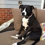 Adopt Zoe an American Staffordshire Terrier in S.C.