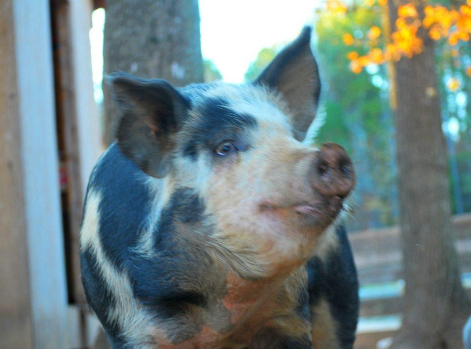 polka dottie pig