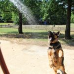 adopt-german-shephard-dog-yogi-sc