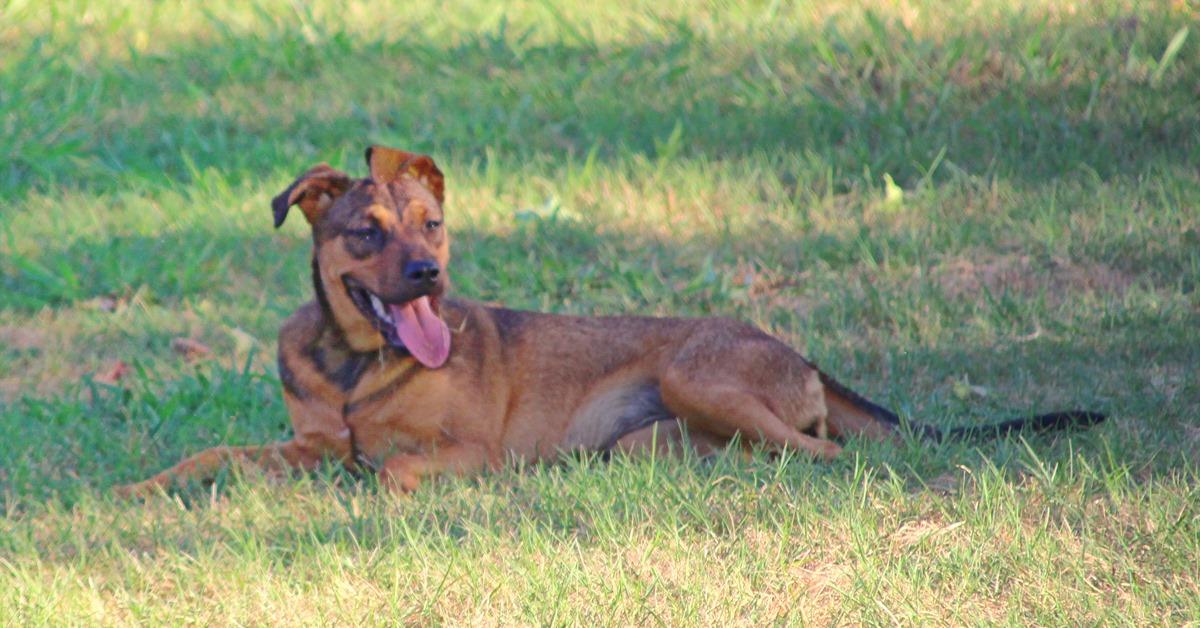 adopt-molly-brown-dog-sc