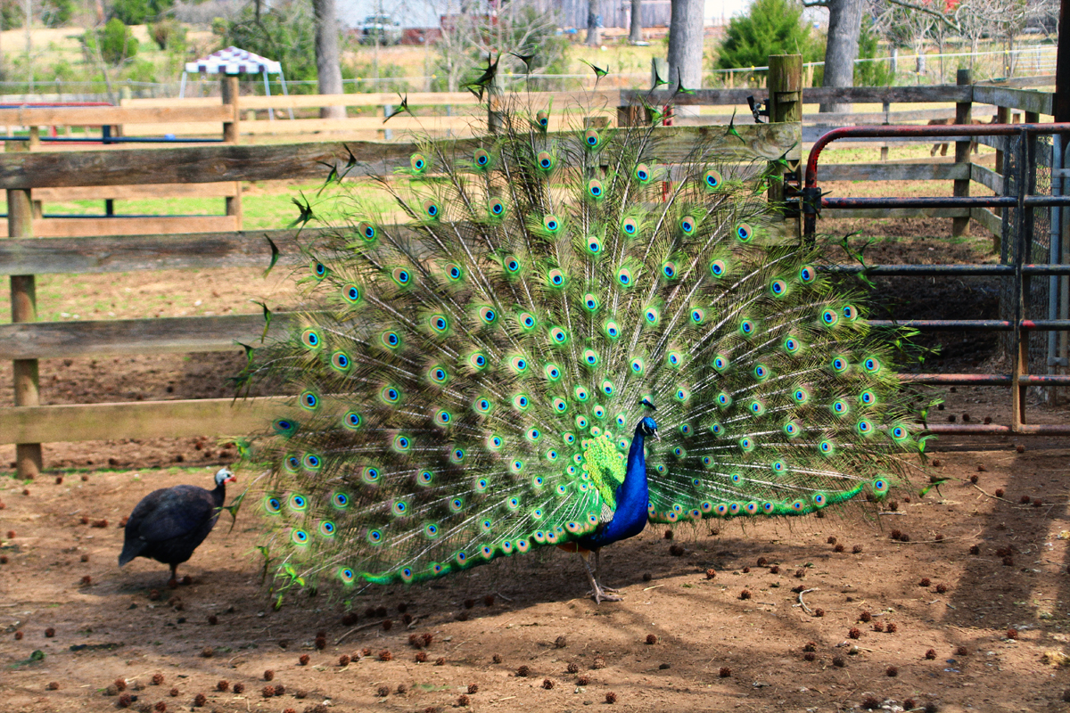 ai-peacock-hollow-creek-farm-2