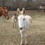 Ezra donkey for adoption in S.C.