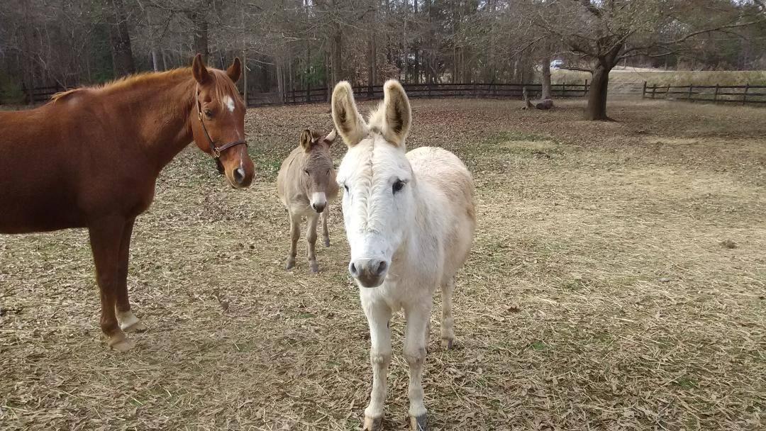 Ezra donkey for adoption in S.C.