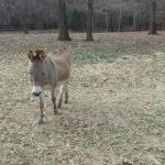 Job donkey for adoption in s.c.