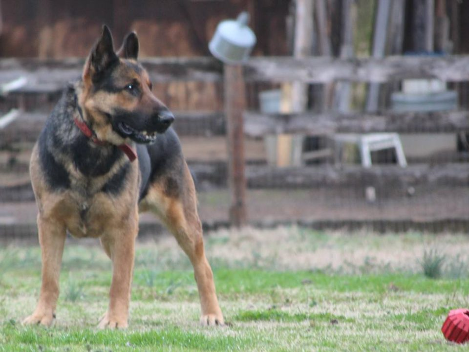 Yogi German Shepard for adoption in S.C.